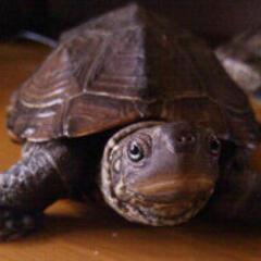 爱金子的乌龟