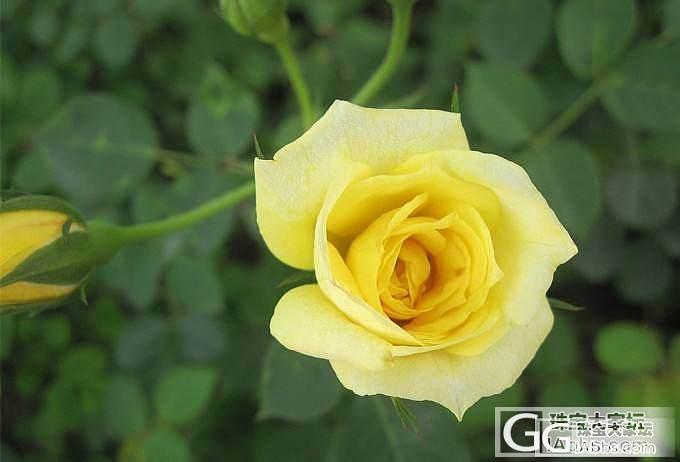 《广广的十二花神记》五月花神——玫瑰_闲聊