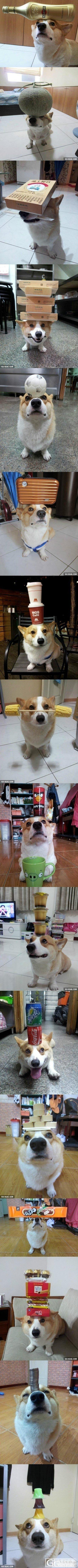 看到一个搞笑的狗狗,什么都可以顶,发上来大家乐一乐_贴图