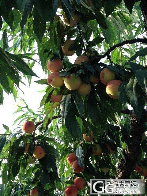 今年又去摘桃子啦_美食