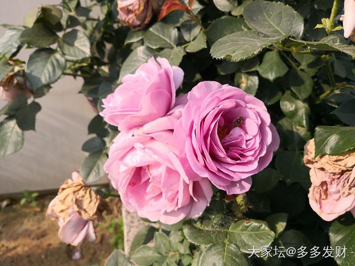 第一朵月季开花了_花