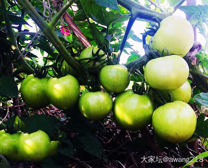 江湖救急!我种的西红柿🍅全被虫子蛀空了!_菜园