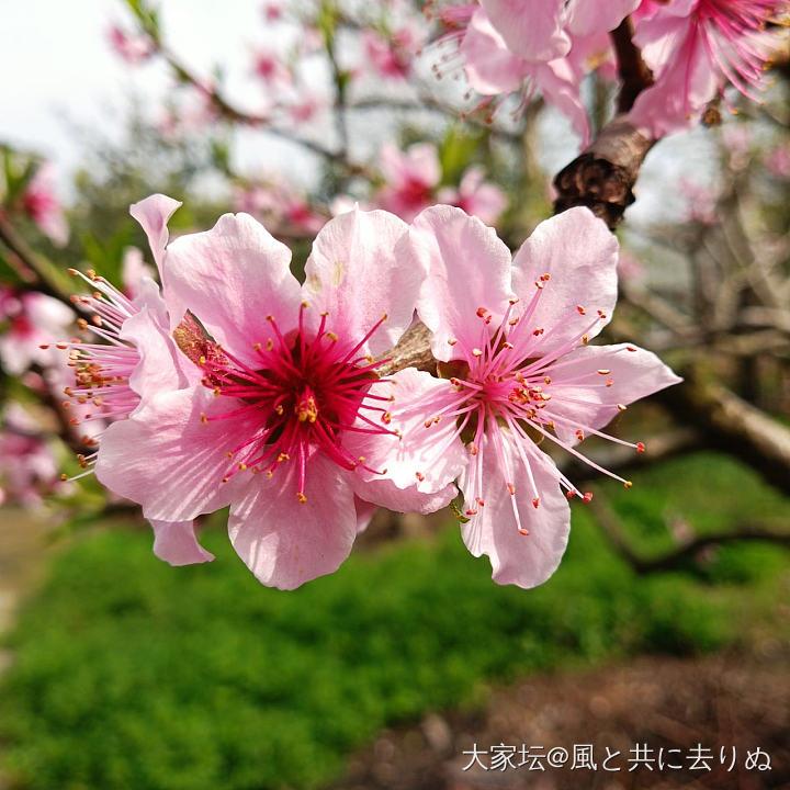 桃花紅,梨花白 又見桃李芬芳時_植物