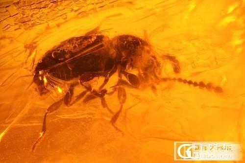 曾为老茯神,本是寒松液,蚊蚋落其中,千年犹可觌,窃窃私语的一对飞虫_虫珀琥珀