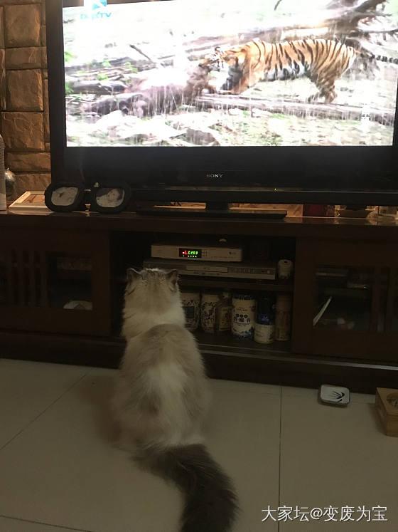老虎最喜欢看老虎🐯😄_猫