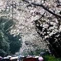 武大校园樱花如画-----