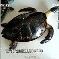海南非法玳瑁交易:为保持光泽 百岁龟遭开水烫死