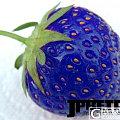 动物与植物的结合,抗冻蓝草莓神秘现世