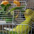 鹦鹉的平衡膳食