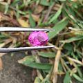 1.56克拉无烧粉蓝宝,vivid pink,大家看看这颗怎样😊