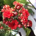 朋友送来的长寿花终于慢慢开了。