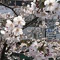 这个周末东京这边樱花都会开