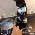 主人在吃饭时,因为没有给家里的奶牛猫吃,它就生气了,于是...