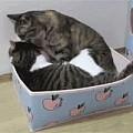 这两只猫正在专心的舔毛,前一秒还很恩爱,下一秒就...