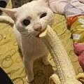 养一只喜欢吃香蕉的猫是怎样的体验...