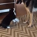 奶牛喵和狗狗在打架,一开始还打得很凶,打着打着,最后...