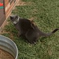 猫咪抓了只松鼠,想玩它一下,结果...