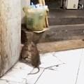 猫在抓老鼠时遇到了另一只老鼠,结果两老鼠却打了起来,最后...