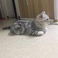 短毛猫是掉毛怪,我只想买个戴森。