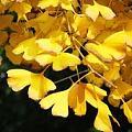 上海银杏树全黄了吗?