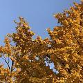 看过银杏树了