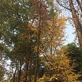 天气很好,银杏叶子也很美,一切刚刚好