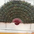 孔雀羽毛扇,做家居装饰很合适哦!