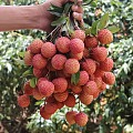 果农滞销,清甜桂味荔枝只要6元一斤