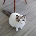 貓咪的血統重要嗎?