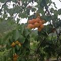 崂山的杏成熟啦,还吃啦一顿全天然的农家宴哈