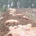 [转帖分享] 老汉养猪场被冲垮损失200万元 部分猪被人捞走站在桥上痛哭..