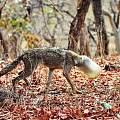 [聊天吹水] 野狼整个头部被卡在一个塑料容器中无法挣脱进食 瘦成皮包骨