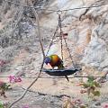 去朋友的500公頃農場家渡假捕捉的野生鸚鵡和笑翠鳥(Kookaburra)