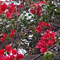 下雨天拍拍花園紅紅的九重葛・紅彩鮮豔・和鴿血紅宝・紅碧璽・紅尖晶比豔