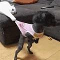 这只猫用爪子勾住了狗狗的衣服,然后主人叫狗狗吃饭