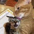 舔猫狂魔猫,每次舔起毛来,真是好猥琐