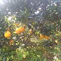 摘脐橙是体力活啊😂