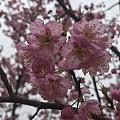 赏樱遇上阴雨天,不如来拍下左右手
