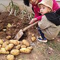 黄沁原籽满肉,一挖一麻袋。