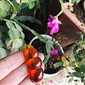 缅甸琥珀幸福豆荚