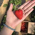 摘草莓啦,甜甜的草莓