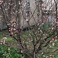 回家杀芥菜,晒干菜。樱桃树也开花啦。