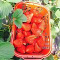 采草莓啦好甜
