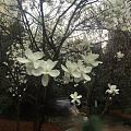 玉兰花季,我的玉兰花枝终于修好了