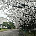 草长莺飞,万物复苏。厂里环境不错,号称花园式工厂,最喜欢春之樱,秋之桂。