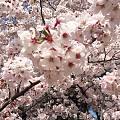 心目中的樱花,呈现出一对耳钉...