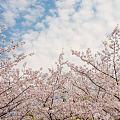 同济赏樱一年比一年人多