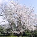 共赏!樱花🌸开放的季节