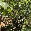 我家窗前的樱桃树~估计过两个星期就会红了~等着摘樱桃吃😄