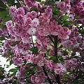 幼儿园门口的樱花树太美了